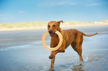 Active athletic dog puppy running at the sea with a frisbee