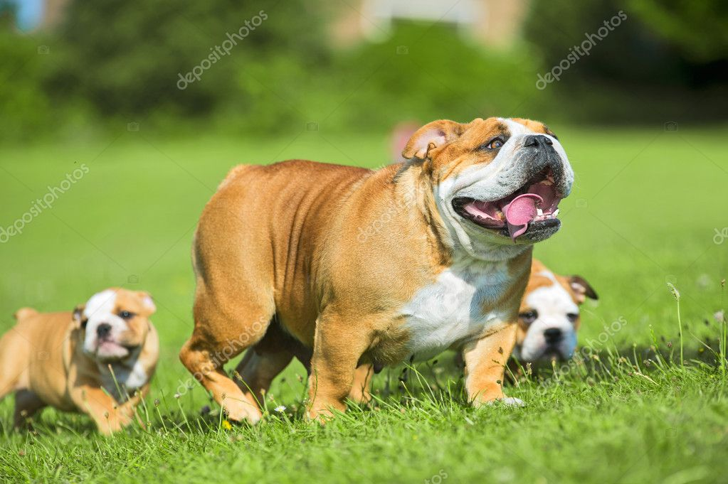 two cute bulldog puppies following their mother stock photo tanyxa333 27. Black Bedroom Furniture Sets. Home Design Ideas