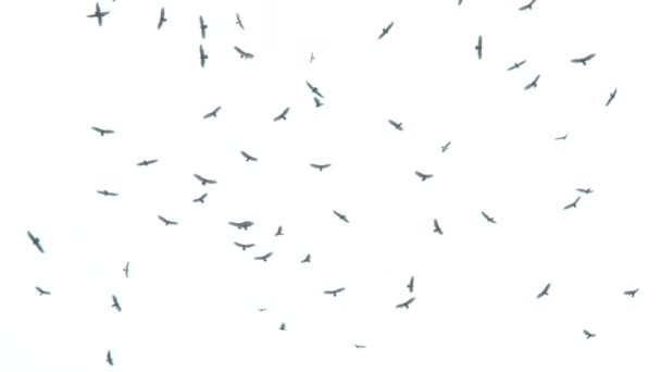 sok keselyűk. fehér háttér repülő madarak egy csoportja.