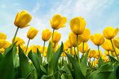 Fotografia campo di tulipani