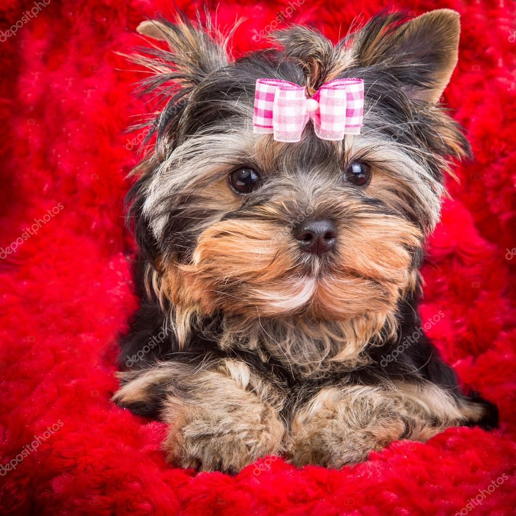 puppy of Yorkshire terrier with pink bow lying on red pillow