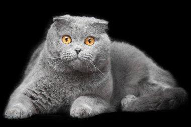 blue scottish fold cat on black background