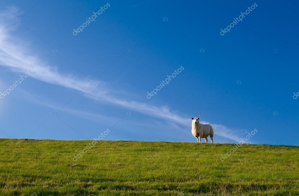 Cute sheep over blue sky