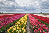 mnoho barevné tulipány na polích