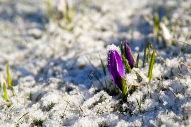 crocus flower in snow during early spring