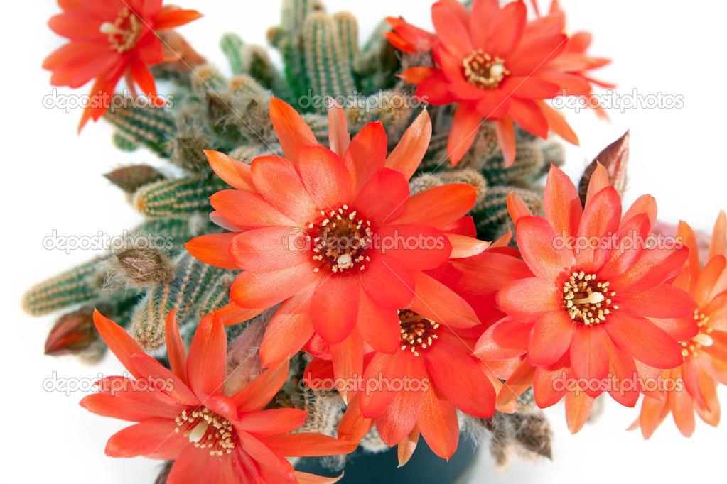 Rote Kaktusblüte weiß — Stockfoto © O.Rohulya #27893613