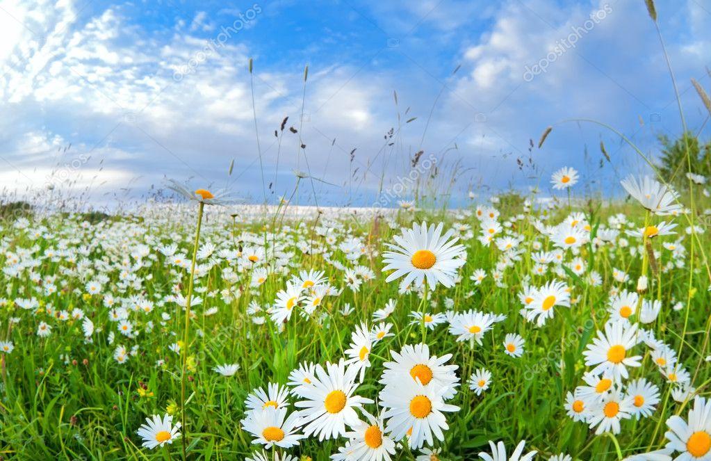 Обои полевые цветы на рабочий стол