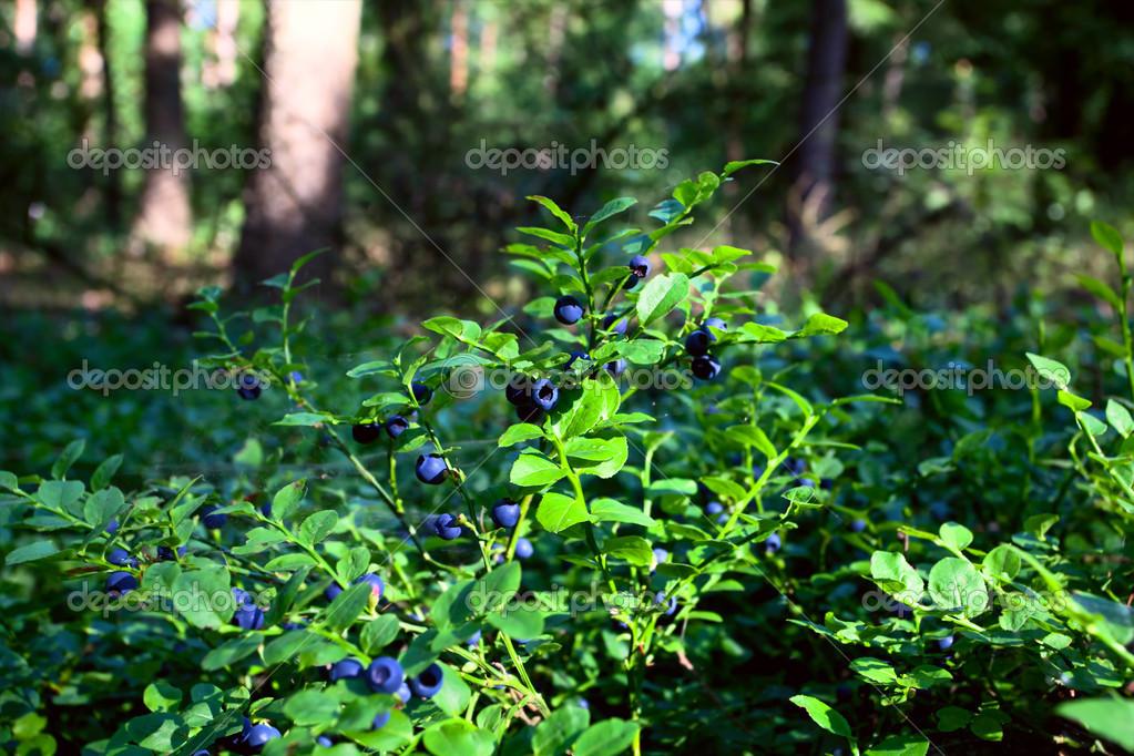 Фото черники в лесу