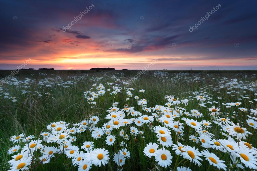 summer sunset over chamomile field