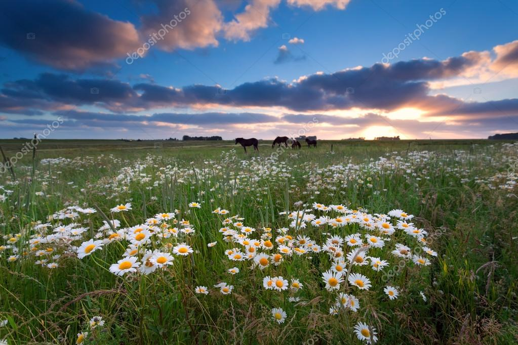 sunset over pasture with horses and chamomile flowers