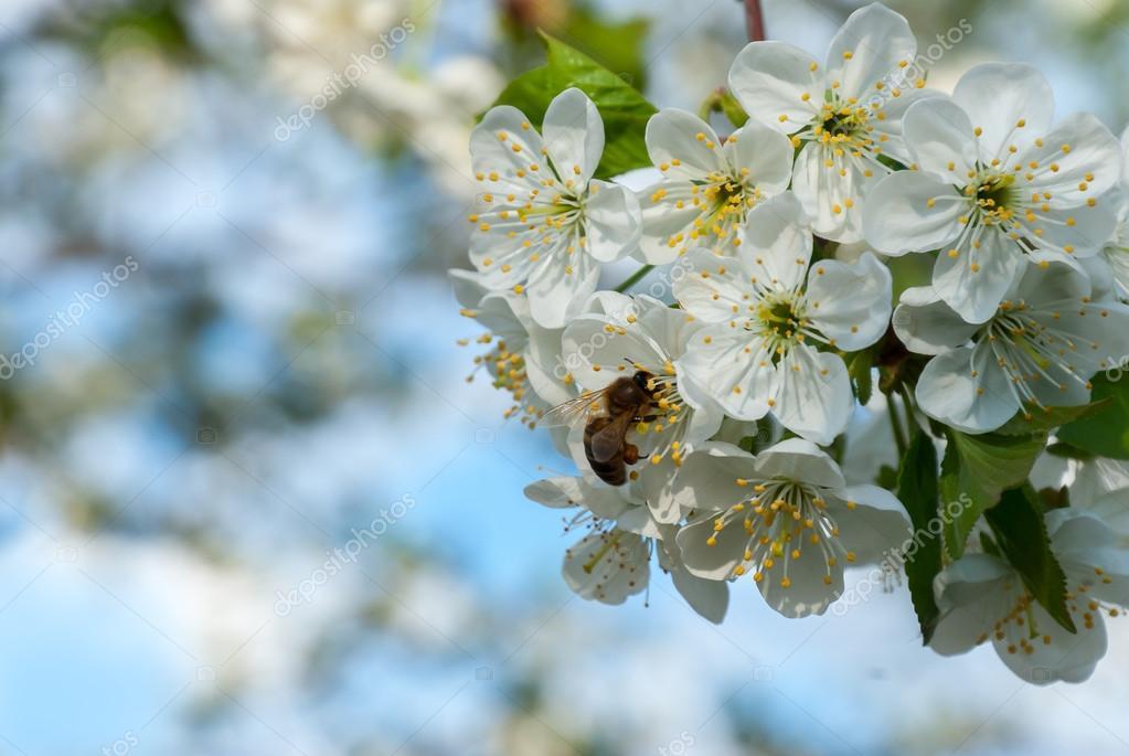 Bee on cherry flowers