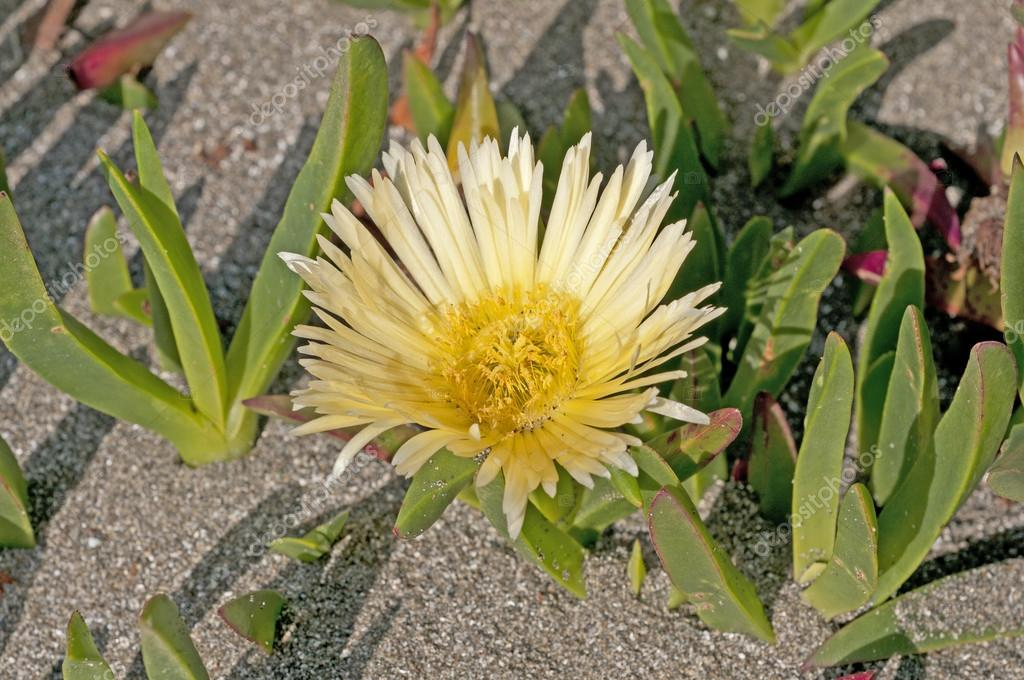 Coastal Flower on a Sandy Beach