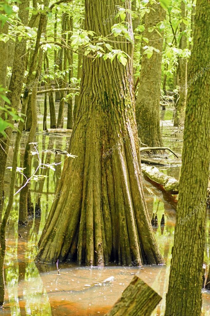 Baumstamm Zypressen in einem Sumpf — Stockfoto © wildnerdpix #34698423
