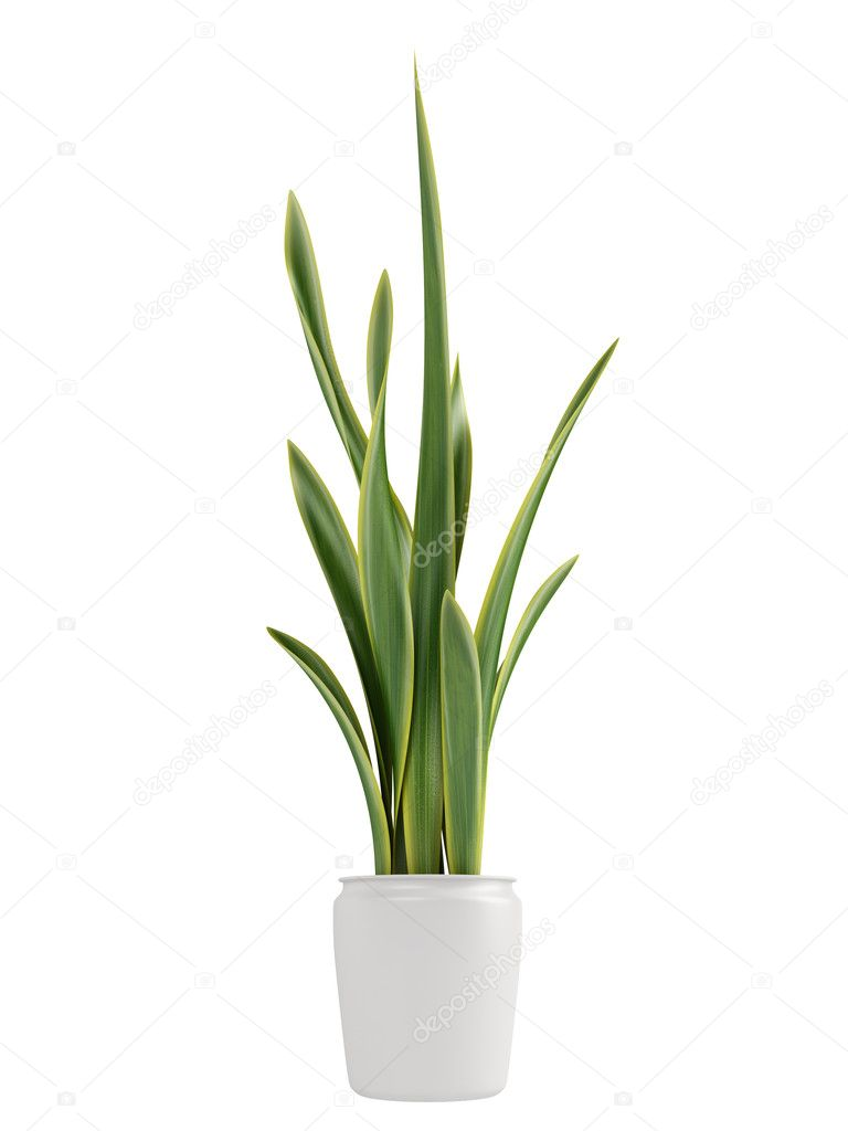 Sansevieria growing in a pot