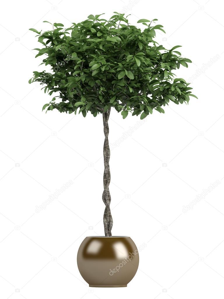 Pachira or money tree