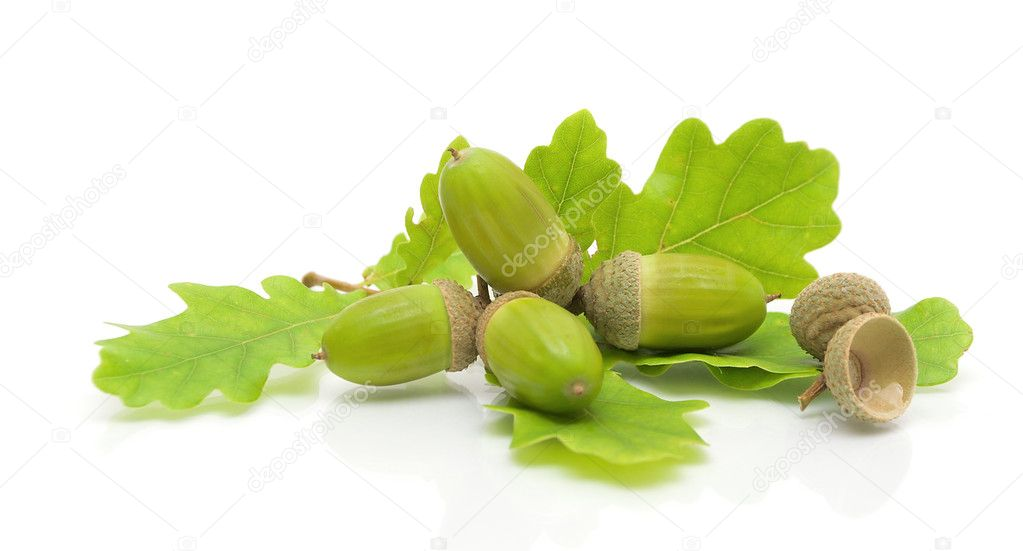 Green acorns and oak leaves on a white background