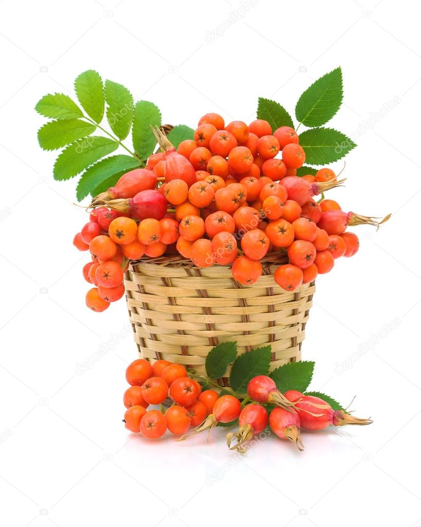 Red rowan and wild rose in a basket on a white background