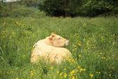 mucca in un prato