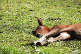 foal lying in the grass