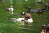 pingvin manchot