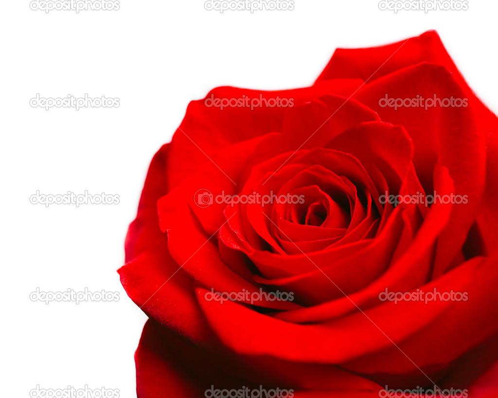 Isolated red rosebud