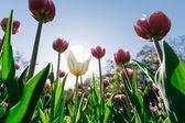 Fotografia Tulipani di parco
