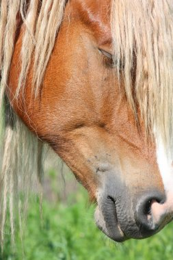 Palomino horse head close up