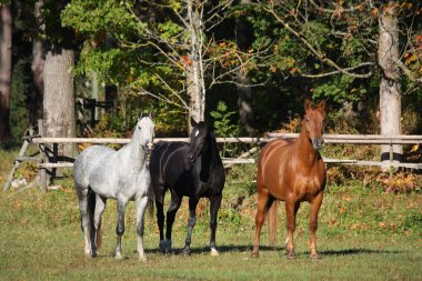 Three horses at the pasture