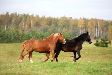 Two horses running at the pasture