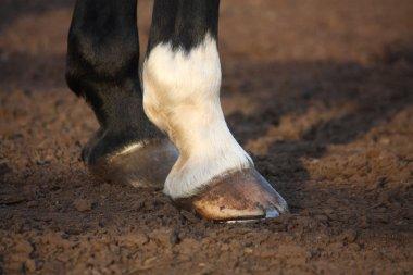 Close up of horse hoof