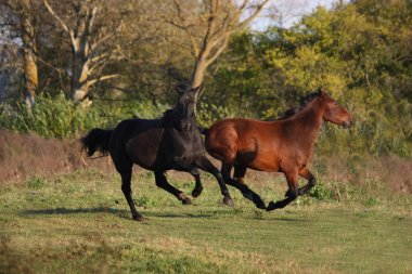 Two wild horses running at the field