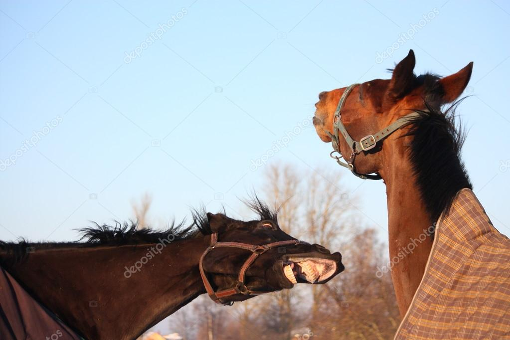 Two brown horses playing together