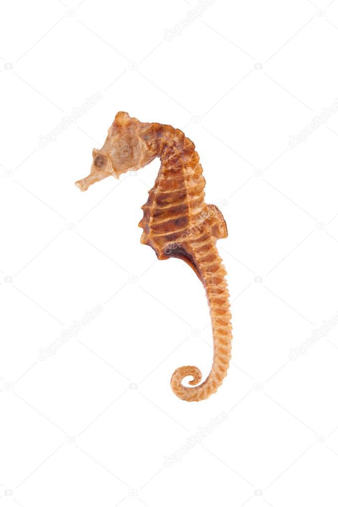 Sea Horse closeup