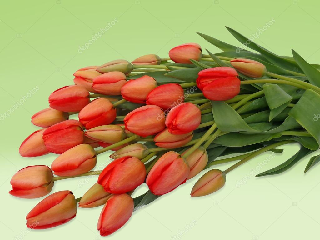 Bouquet of red tulips on a green background