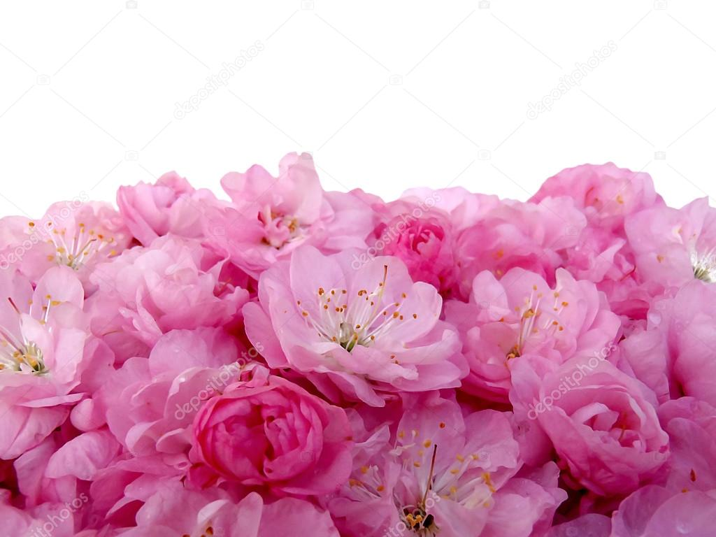 Gentle pink flowers on a white background macro