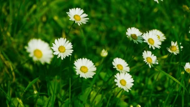Chamomile moves in the wind