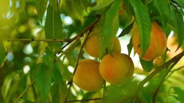a fán érett őszibarack