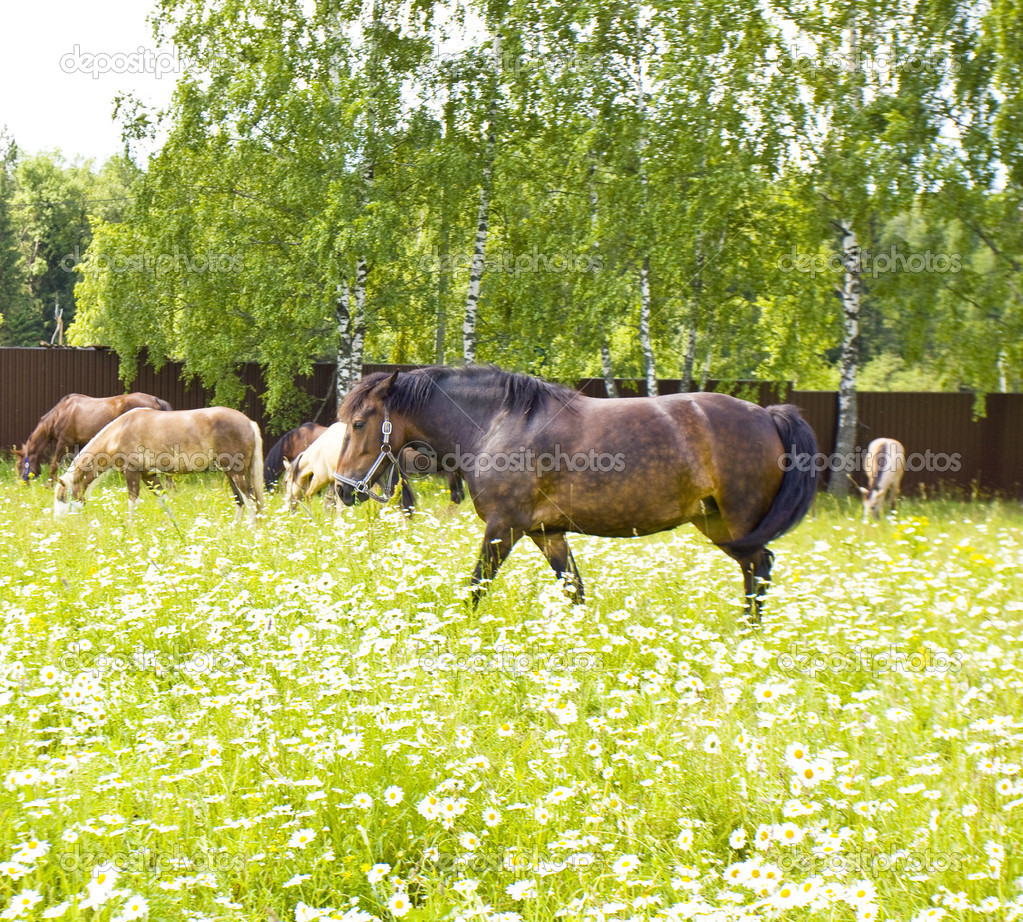 Лошади на лугу с ромашками — Стоковое фото © Afonskaya ...