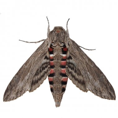 Convolvulus Hawk-moth, (Agrius convolvuli) Gray moth isolated on white background