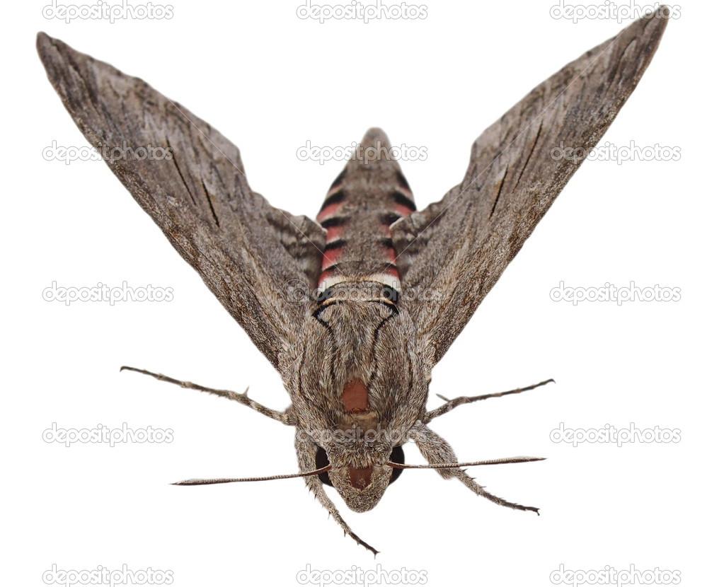 Convolvulus hawk moth agrius convolvuli papillon de nuit gris isol sur fond blanc - Invasion papillon de nuit ...