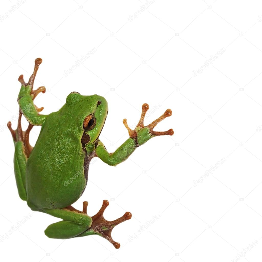 European tree frog isolated on white background, Hyla arborea