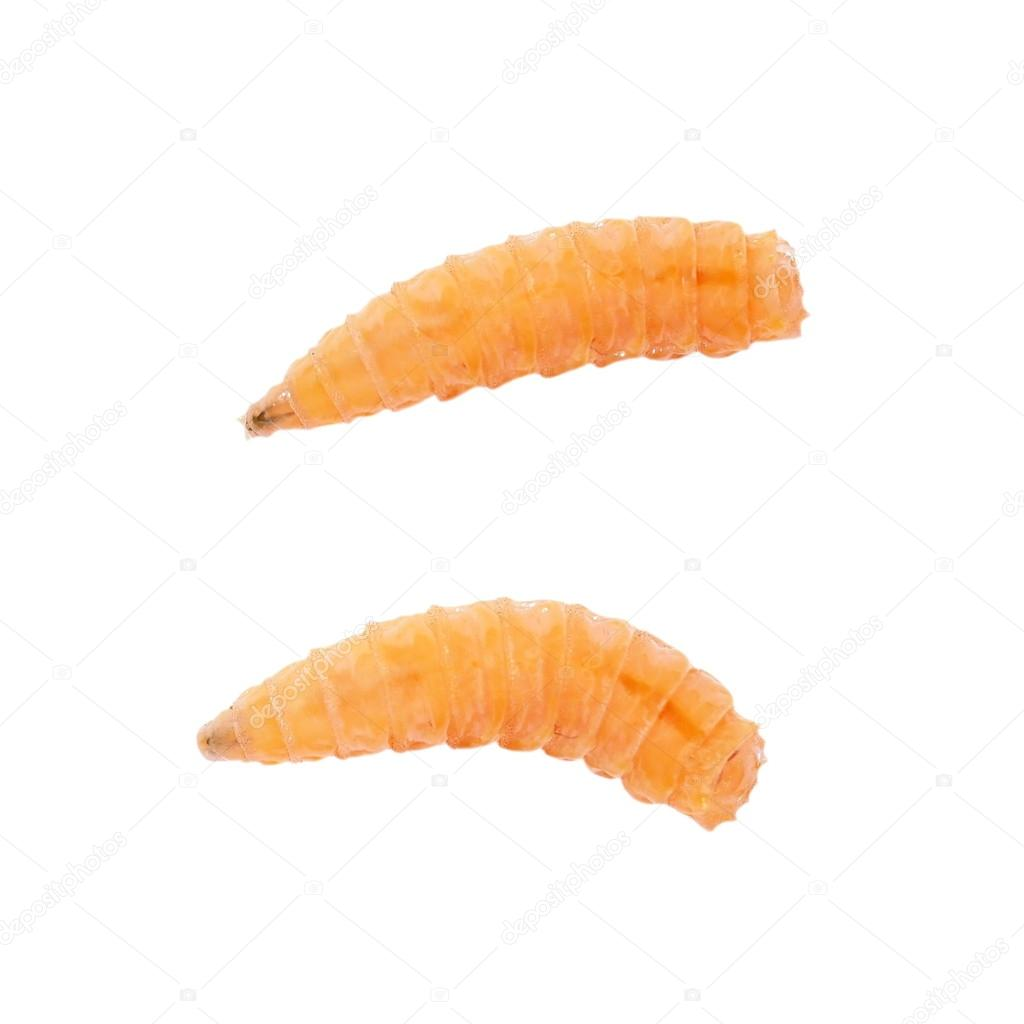 Macro Fly larva isolated on white background