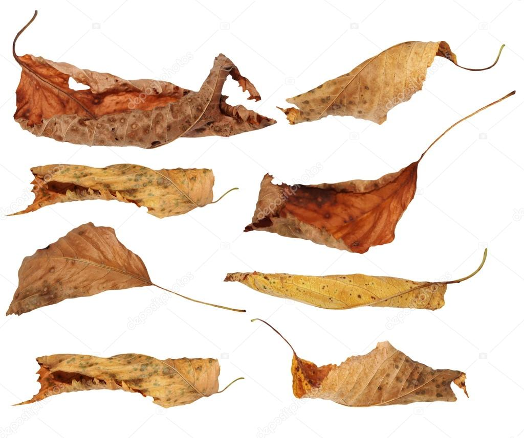 Set flying yellow fallen autumn leaves cherry isolated on white
