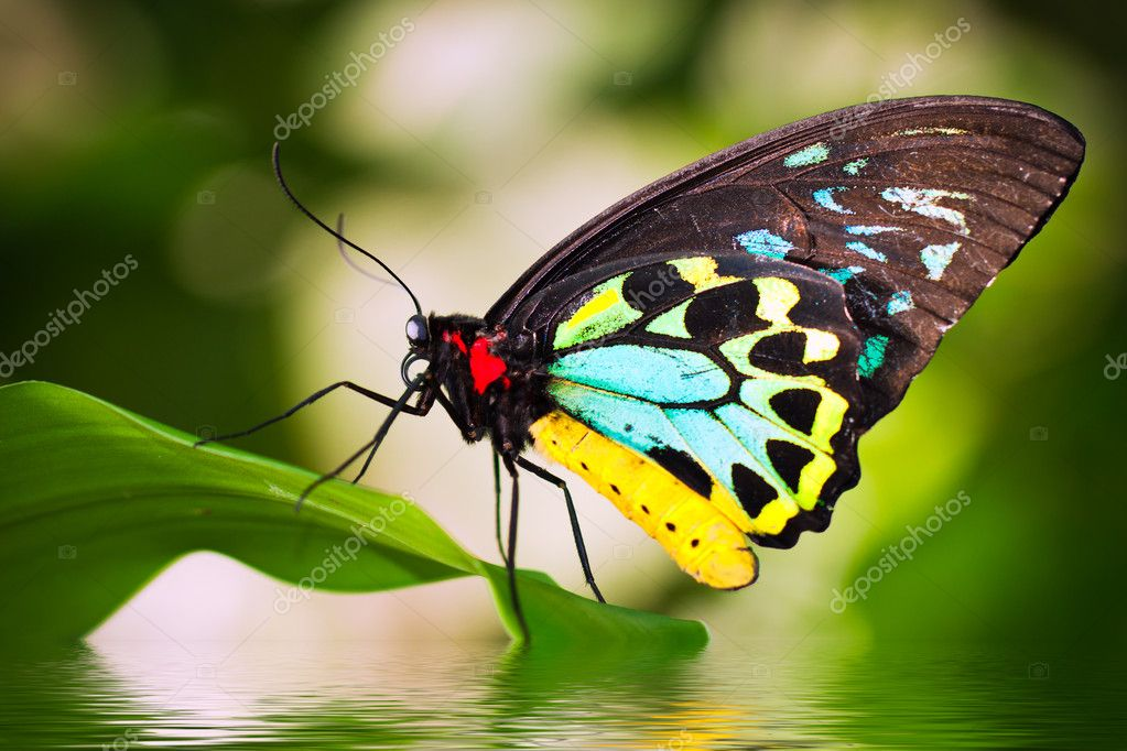 Male Birdwing butterfly (Ornithoptera euphorion)