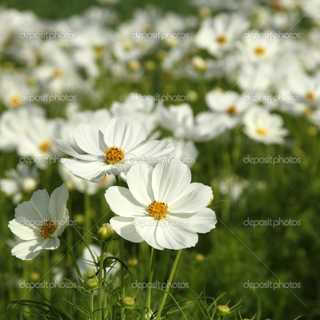 White Cosmos Flowers Stock Photo Liewluck 45766231