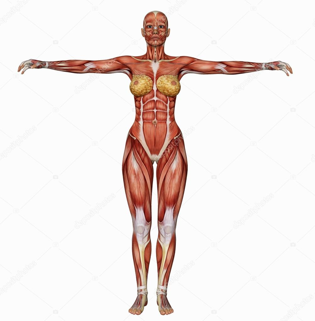 Female Bodys Muscle Structure From Behind Stock Photo Greglith