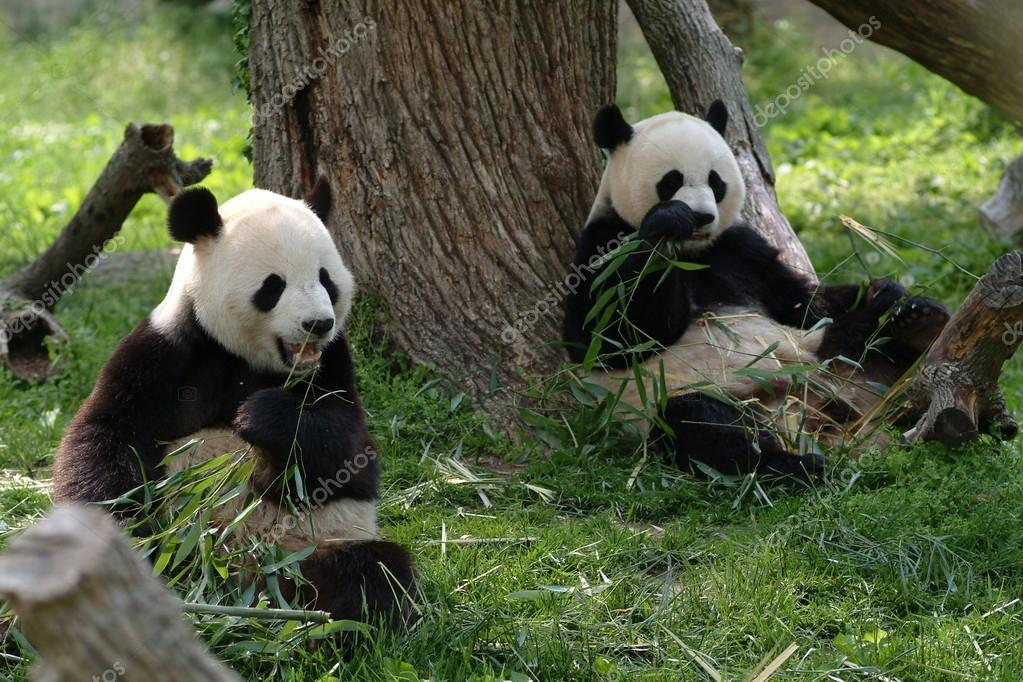 Giant pandas in a field