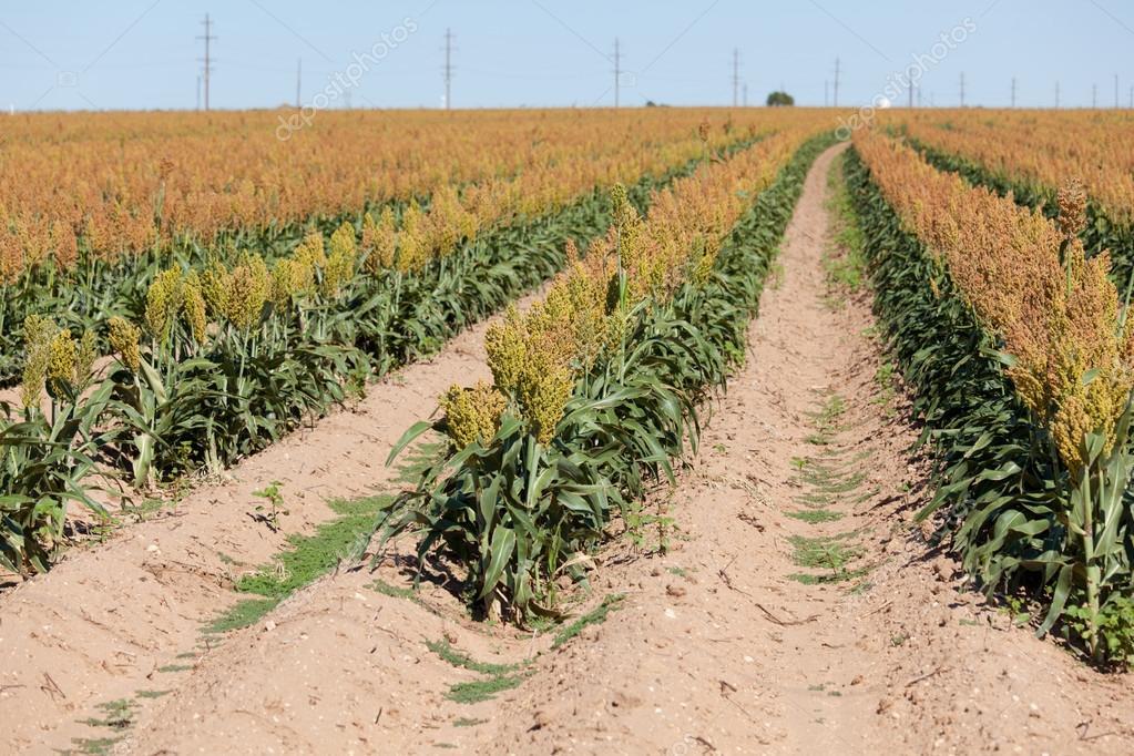 Fiel del cultivo de sorgo o milo de grano en el oeste de texas — Foto de Stock