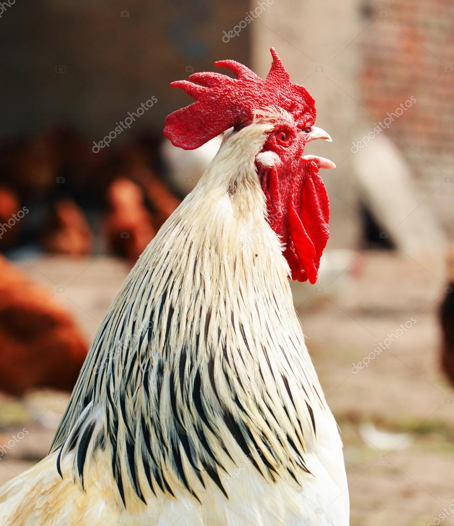 Rooster on traditional free range poultry farm