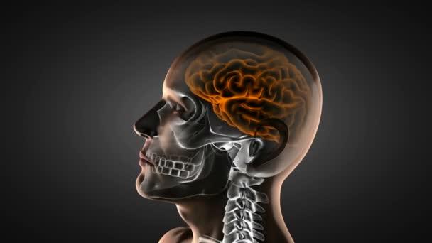 Human brain radiography scan
